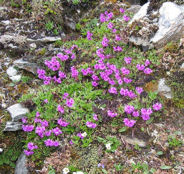 Primula dryadifolia  ssp. congestifolia (Bay Ma Shan 4800m.)