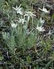 Leontopodium himalayanum (Dian Cang Shan 3500-4200m. Yunnan)