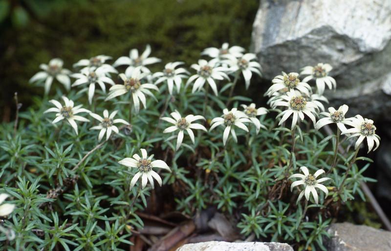 Leontopodium calocephalum (Dian Cang Shan 3500-4200m. Yunnan)
