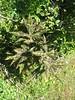 Podophyllum hexandrum (Napa Hai, Zongdian Yunnan)