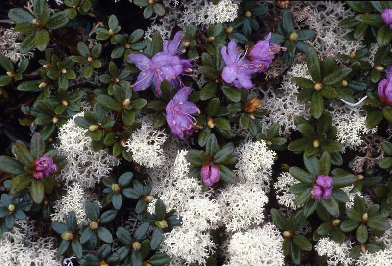 Rhododendron rupicola and Irish moss (Bai Ma Shan 4400m. Dechen, Yunnan)