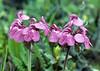 Pedicularis prazwalskii var. australis (Bai Ma Shan 4600m. Dechen,Yunnan)