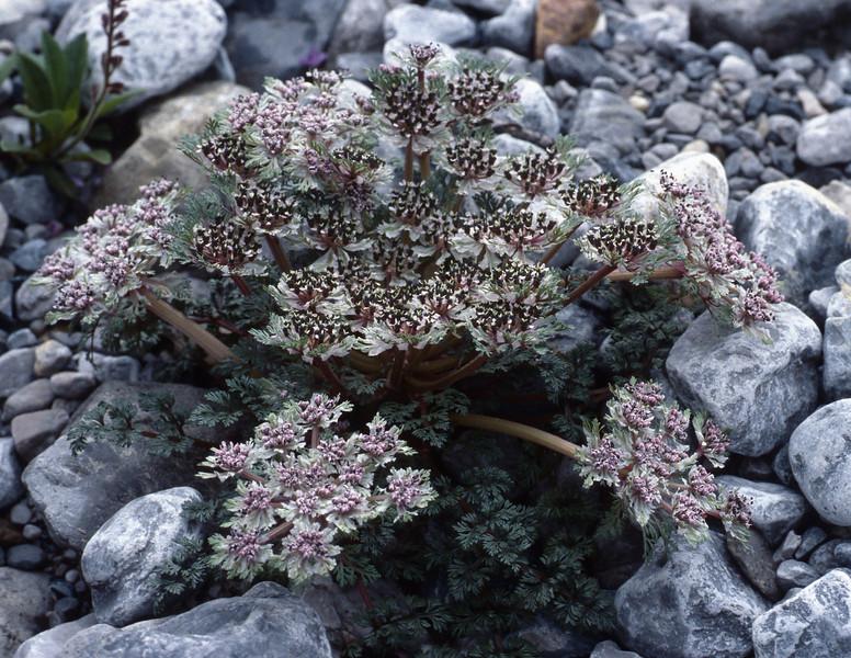 Pleurospermum calcareum (Gang Ho Ba 3030m.Yunnan)