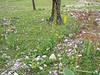 habitat of Roscoea humeana and Lingularia lankongensis (Yulong Xue Shan pas 2860m Yunnan)
