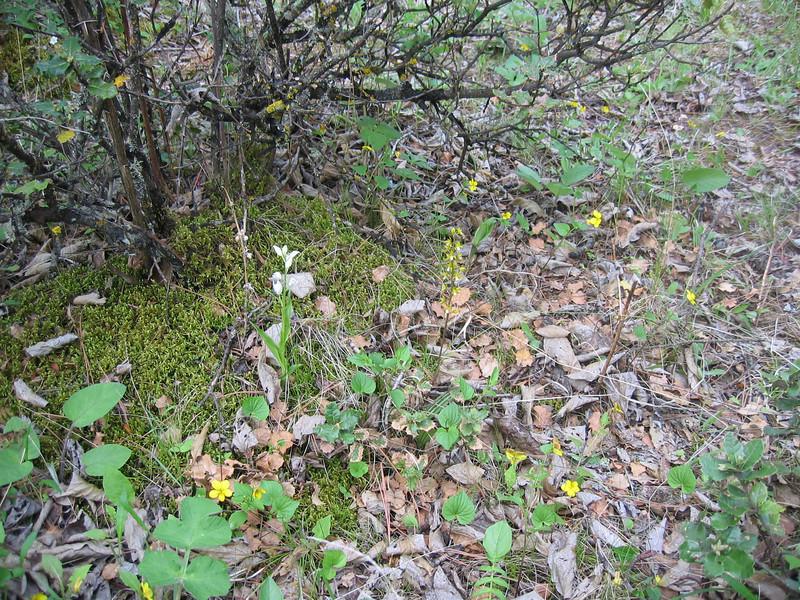 Cephalanthera damasonium (Zhongdian, Yunnan)