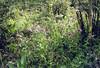 Nomocharis aperta (Napa Hai, Zongdian Yunnan)