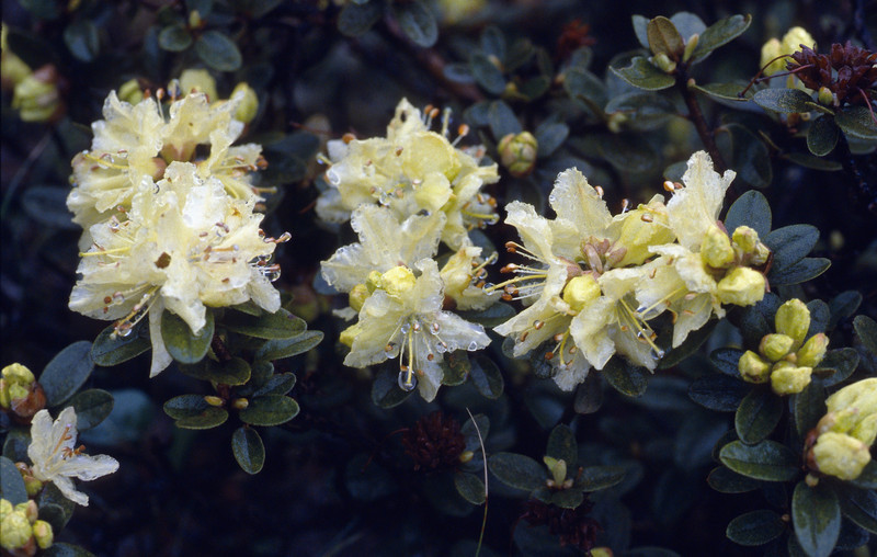 Rhododendron spec. (Zhongdian, near Tianchi lake)