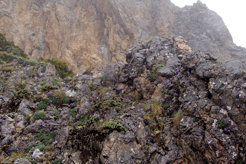 Paraquilegia anemonoides (Bai Ma Shan 4600m. Dechen,Yunnan)