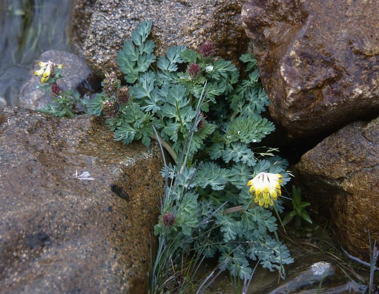 Corydalis spec.