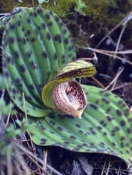 Cypripedium margaritacea