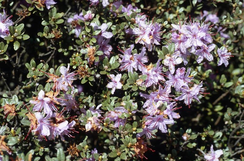 Rhododendron rupicola (Zhongdian, near Tianchi lake)