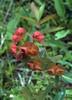 Euphorbia nematocypha (Yunnan)