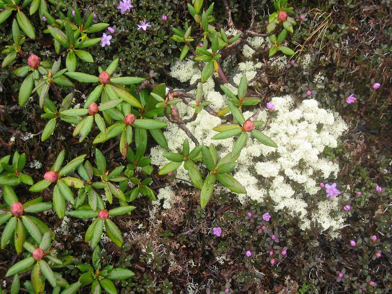 Rhododendron aganniphum and Irish moss ( Bai Ma Shan 4600m. Dechen)
