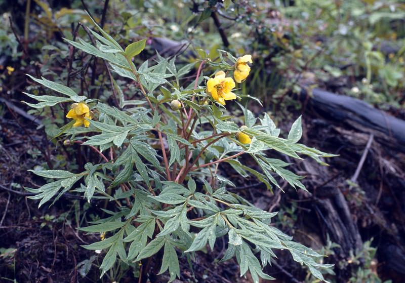Paeonia delavayi var. lutea (near Dechen, Yunnan)