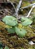 Beesia calthaefolia (Tianchi lake 3850m. Zhongdian, Yunnan)
