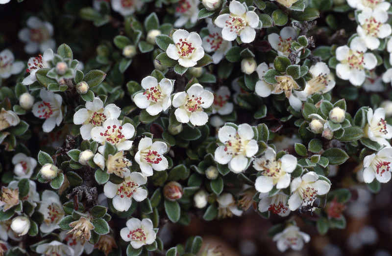 Cotoneaster microphyllus (flowers)