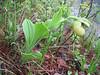 Cypripedium flavum (Zhongdian, Yunnan)