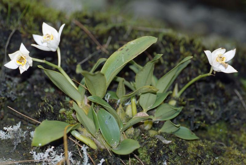 Coelogyne corymbosa