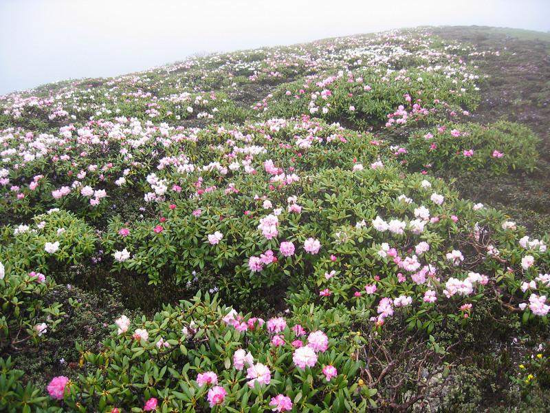 Rhododendron aganniphum ( Bai Ma Shan 4600m Dechen)