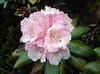 Rhododendron aganniphum (Bai Ma Shan 4600m. Yunnan)