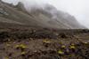 Oxygraphis glacialis (Bai Ma Shan 4800m)