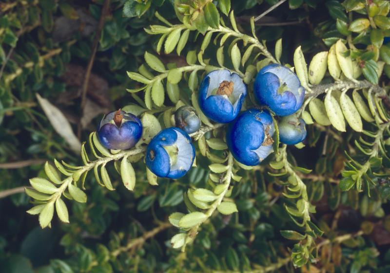 Gaultheria trichophylla (near Dechen, Yunnan)