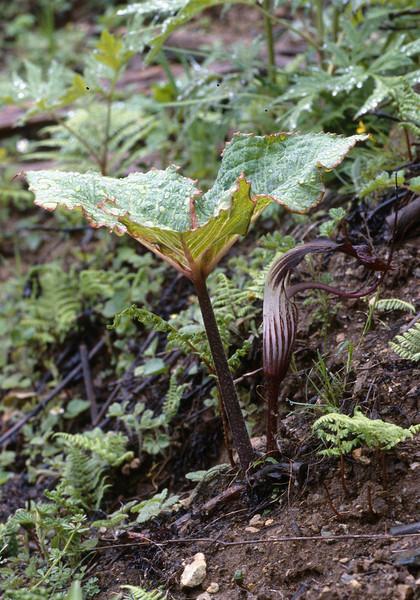 Arisaema griffithii (near Dechen, Yunnan)