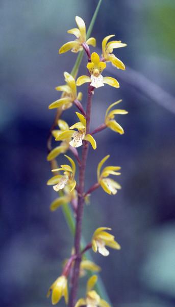 Oreorchis erythrochrysea (Orchid, Gang Ho Ba 2880m.Yunnan)