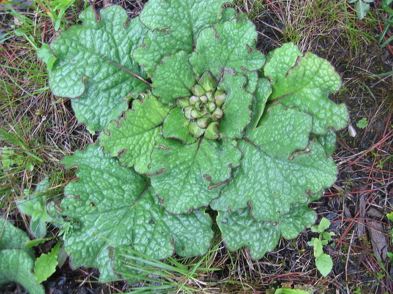 Ajuga cf. ovalifolia