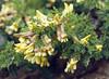 Caragana frachetiana (Zhongdian, Yunnan)