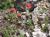 Androsace bulleyana (Zhongdian, Yunnan)
