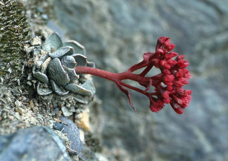 Sinocrassula indica var. densirostrata (Benzilan, Dechen Yunnan)