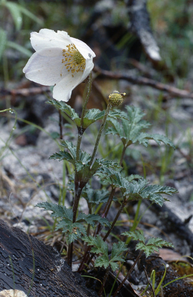 Anemone rupicola (Gang Ho Ba 3030m.Yunnan)