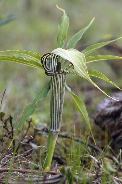 Arisaema ciliatum (Yulong Xue Shan 2860m. Yunnan)