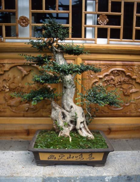 Bonsai trees, Lijiang