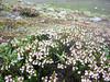 Cassiope pectinata (Cang Shan 4122m. near Dali, Yunnan)