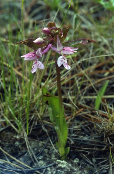 Orchid (Gang Ho Ba 3030m.Yunnan)