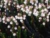Cassiope selaginoides (Bai Ma Shan 4600m. Dechen,Yunnan)