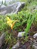 Hemerocallis forrestii (Gang Ho Ba 2880m.Yunnan)