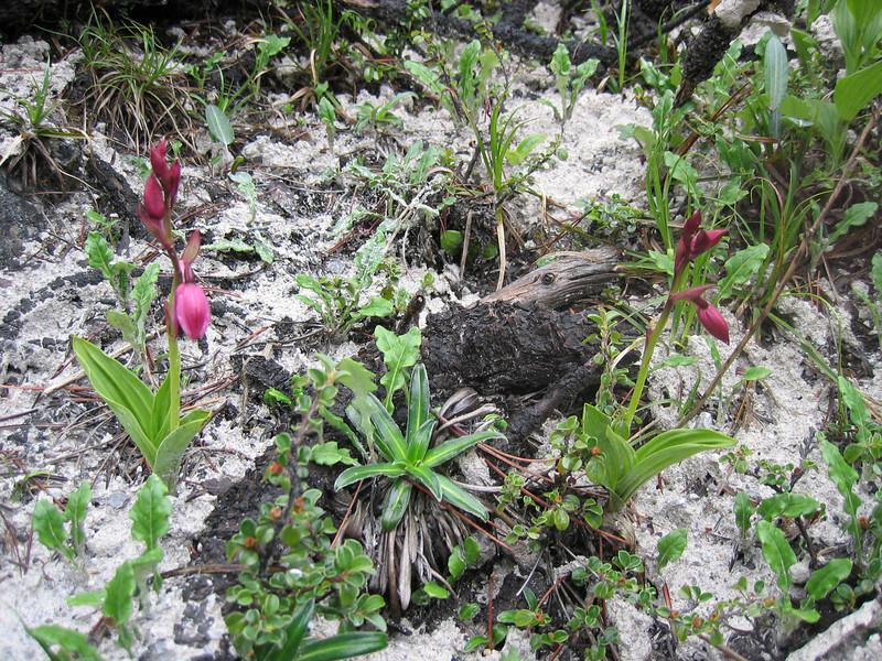 (Calanthe) Phaius delavayi (Gang Ho Ba 3030m.Yunnan)