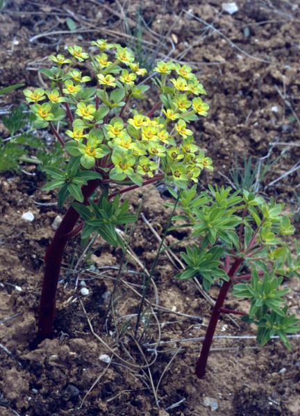 Euphorbia stracheyi