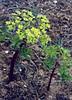 Euphorbia spec. (Yulong Xue Shan pas 2860m Yunnan)