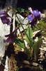 Omphalogramma souliei var. pubescens (Habitat in a forest)