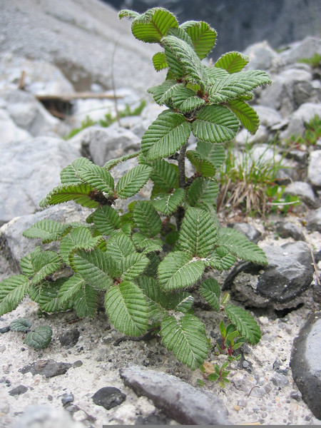 Betula calcicola (Gang Ho Ba 3030m.Yunnan)