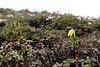 Lilium euxanthum (Bai Ma Shan 4800m. Dechen,Yunnan)
