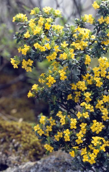 Daphne calcicola (Gang Ho Ba 3030m.Yunnan)