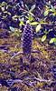 Boschniakia himalaicus (Orobanche, out of flower) (Cang Shan 4122m. near Dali, Yunnan)