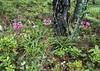 Morina bulleyana var. delevayi (Yulong Xue Shan pas 2860m Yunnan)