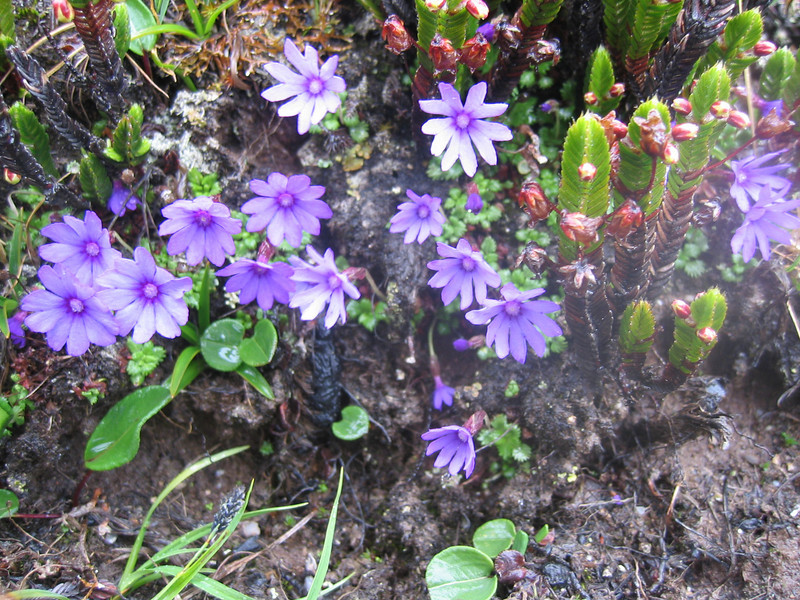Primula nanobella (Cang Shan 4122m. near Dali, Yunnan)