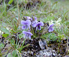 Viola gmeliniana